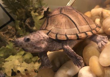 Female Razorback Musk Turtle