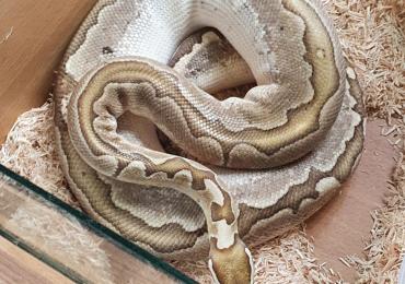 CB18 male bamboo royal python