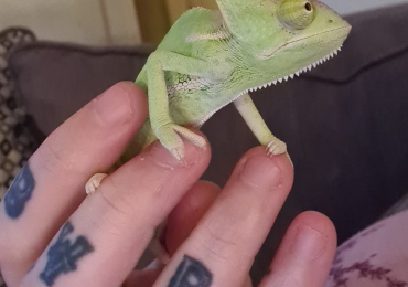 Yemon chameleon