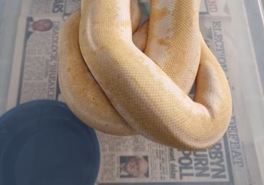 Banana pastel spider pinstripe royal python