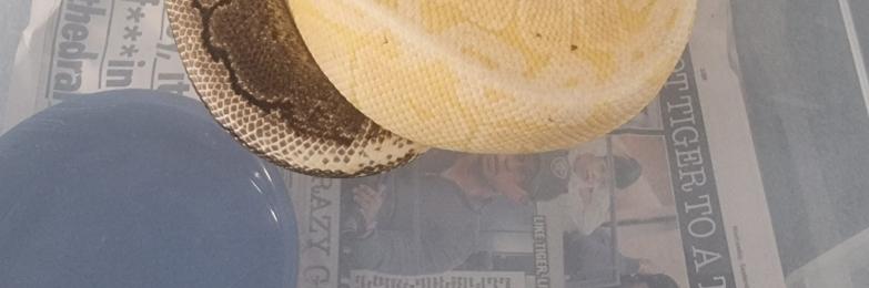 Banana paradox royal python