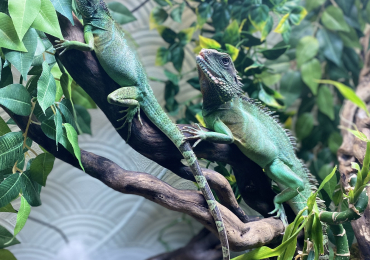 Pair Chinese Water Dragons sold