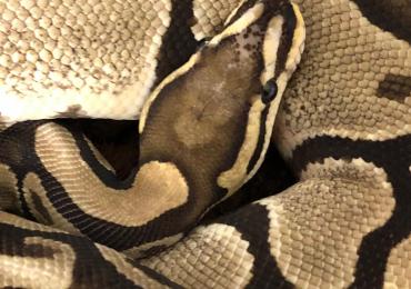 Proven scaleless head male royal python