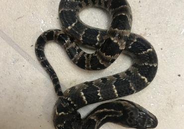 False water cobras