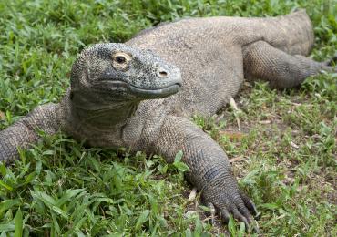 BabY Komodo dragon