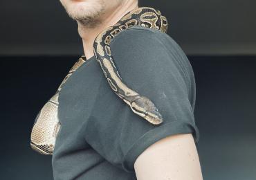 Ball python Normal