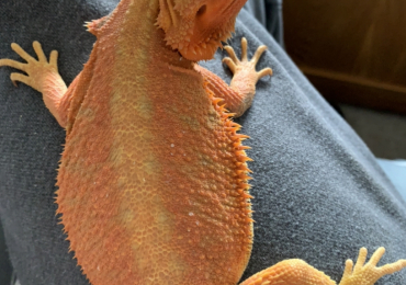 Tangerine Trans Het Trans Baby Bearded Dragons