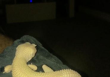 Blizzard morph leopard gecko for sale.