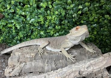 Female Bearded Dragon with terrarium