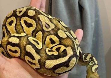 Pastave male ball python