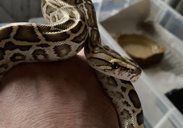Baby male Hypo Burmese Python