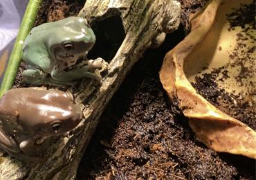 2 adult pair Australian white tree frogs