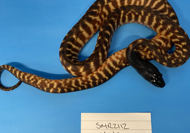 Hatchling Blackhead Pythons (Aspidites melanocephalus)