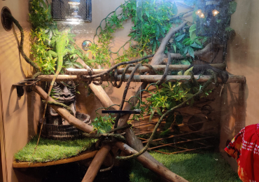 Green iguana and enclosure
