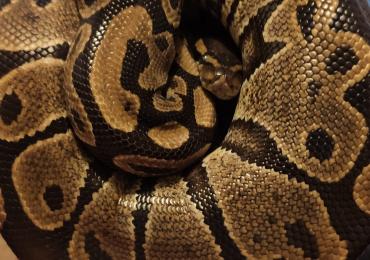 Royal Python & Viv