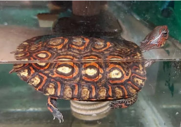 Painted wood turtles