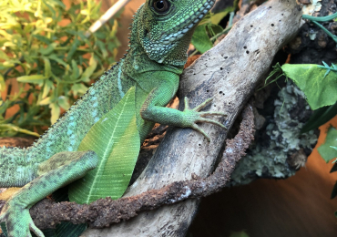 Male 8-9 month old Chinese Water Dragon