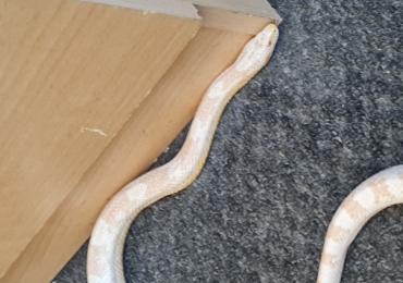 Snow corn snake